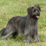 Собака пиренейской породы
