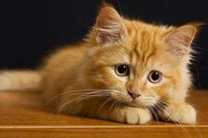 Панлейкопения у котят