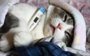 Чумка у кошек фото