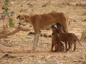 Азавак с щенками