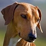 Клички для собаки Азавак