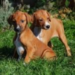 Щенки собаки Азавак