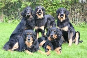 Семья собак Ховаварт