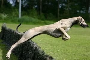 Собака Азавак в прыжке