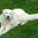 Венгерский кувас — королевская собака