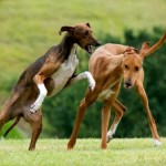 Собаки Азавак