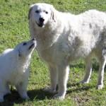 Овчарка Кувас