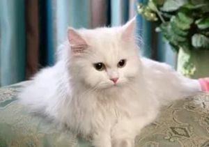 Белая пушистая кошка