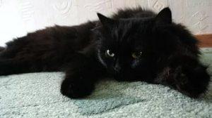 Черная пушистая кошка