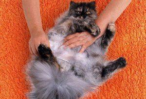 Наносим порошок на шерсть кота