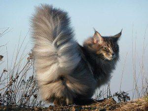 Спасаем хвост у кота