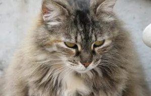 Длинношерстный кот