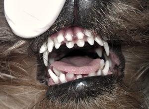 У йорка не выпадают зубы