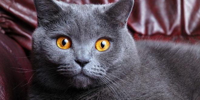 Покупка британской вислоухой кошки