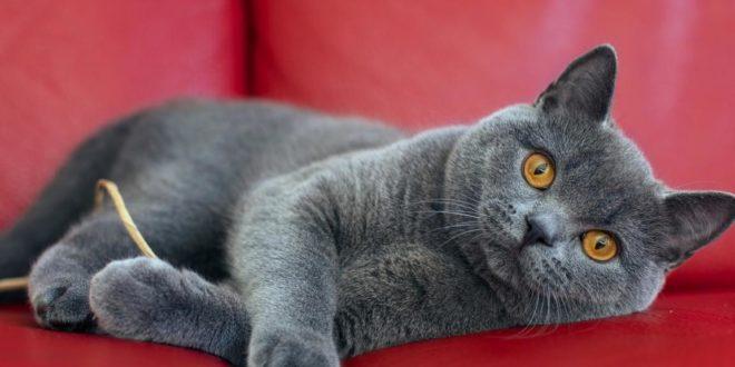 Уход за котами британской породы